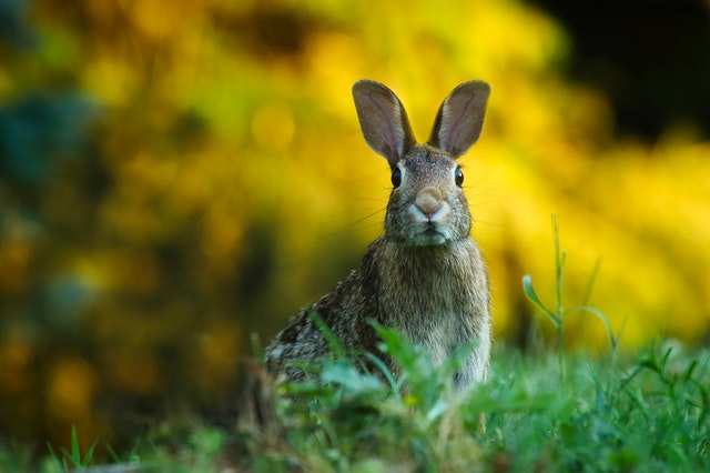 Alert Rabbit Big Ears Binaural Hearing